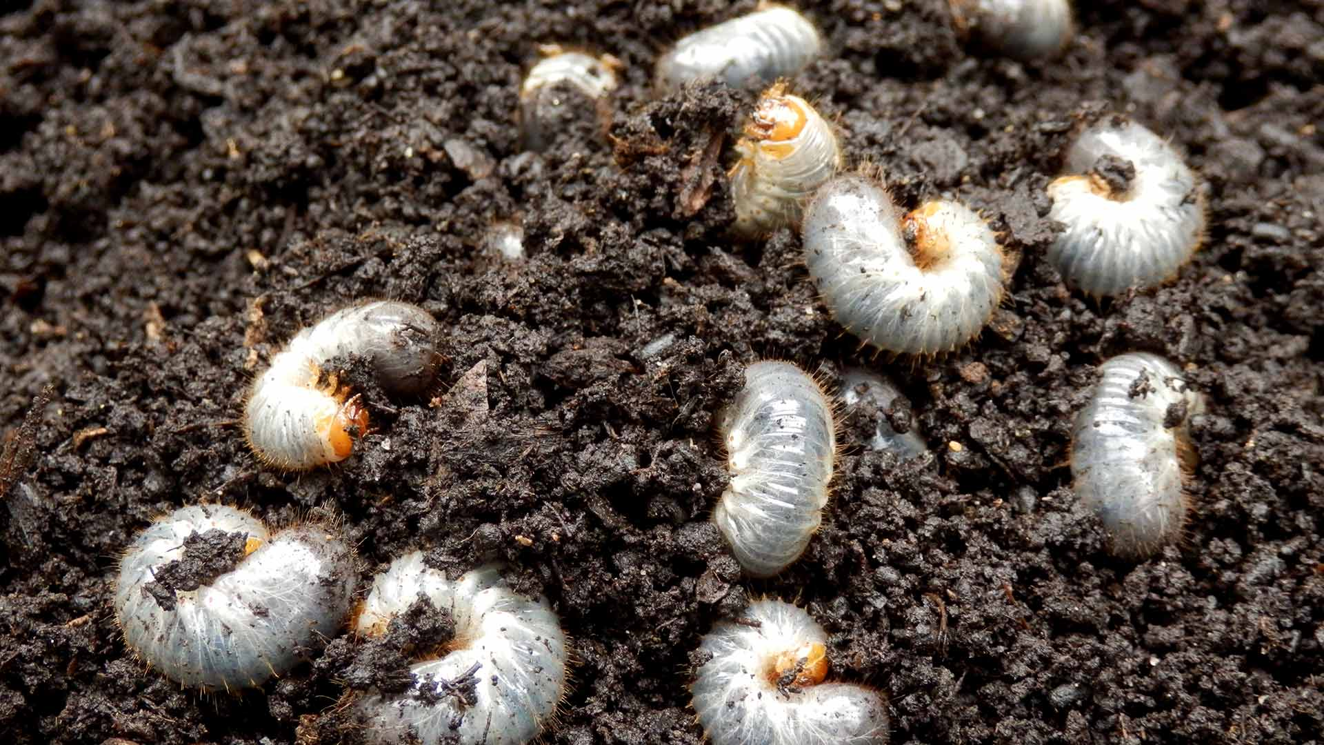 A closeup photo of grub worms in a Woodstock, GA lawn.