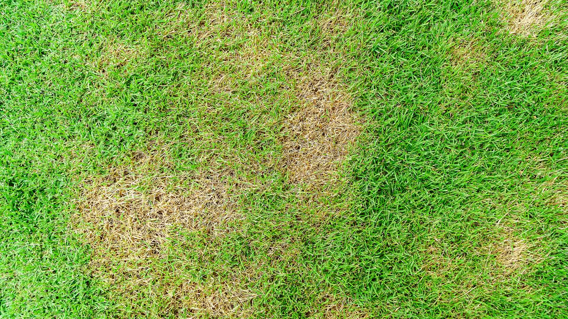 A Roswell, GA lawn with brown spot disease.